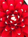 Bromeliad (Aechmea Nidularioides) Prints by Alfredo Maiquez