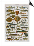 An Assortment of Fish Posters