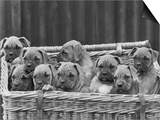 Basket-Full of Boxer Puppies with Their Adorable Wrinkled Heads Prints by Thomas Fall