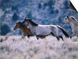 Kiger Mustang Wild Horses, U.S.A. Art by Mark Newman