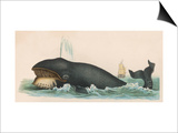 Whale, c.1870 Poster