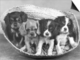 These Four Cavalier King Charles Spaniel Puppies Sit Quietly in the Basket Prints by Thomas Fall