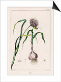 Garlic Showing the Purple Flower and the Bulb Poster