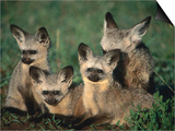 Bat-Eared Fox Pups (Octocyon Megalotis) in Their Den, Serengeti National Park, Tanzania Prints by Ariadne Van Zandbergen