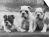 Three Bulldog Puppies Owned by Monkland Posters by Thomas Fall