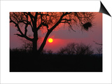 African Sunset, Kruger National Park, Kruger National Park, Mpumalanga, South Africa Prints by Carol Polich