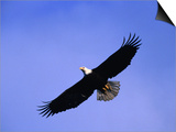 A Bald Eagle (Haliaeetus Leucocephalus) in Flight Near Homer, Alaska, Homer, USA Prints by Mark Newman