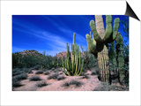 Saguaro Forest, Organ Pipe Cactus National Monument in the Sonoran Desert, Arizona, USA Poster by Carol Polich