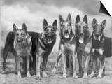 "Group of Mrs Leslie Thornton's Celebrated ""Southdown"" Alsatians Print by Thomas Fall"