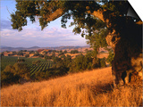 Firestone Vineyard in Background, Santa Ynez Valley, California Print by Oliver Strewe