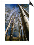 Aspen Trees in Spring, Utah, Utah, USA Prints by Carol Polich