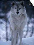 Grey or Timber Wolf (Canis Lupus) in the Alaskan Snow, Alaska, USA Posters by Mark Newman