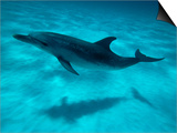 Atlantic Spotted Dolphin and Shadow on Seabed, Bahamas Print by Todd Pusser