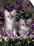Domestic Cat, 8-Week, Two Fluffy Silver Tabby Kittens Amongst Winter-Flowering Pansies Posters by Jane Burton