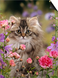 Domestic Cat, Portrait of Long Haired Tabby Persian Kitten Among Dwarf Roses and Bellflowers Prints by Jane Burton