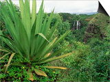 Agave Plant with Opeka Falls in the Background, Kauai, Hawaii Prints by Rolf Nussbaumer