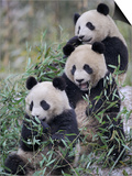 Three Subadult Giant Pandas Feeding on Bamboo Wolong Nature Reserve, China Prints by Eric Baccega