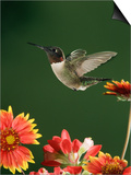 Ruby Throated Hummingbird, Male Flying, Texas, USA Art by Rolf Nussbaumer