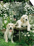 Two Young Labradors in a Daisy Field, UK Art by Jane Burton