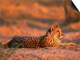 Cheetah, at Sunset, Okavango Delta, Botswana Art by Pete Oxford