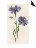Corn-Flower or Corn Blue-Bottle Posters