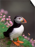 Puffin Portrait, Great Saltee Is, Ireland Posters by Pete Oxford