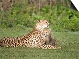 Cheetah Cub Playing with its Mother, Ndutu, Ngorongoro, Tanzania Print