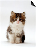 Domestic Cat, 7-Week Tabby and White Persian-Cross Kitten Print by Jane Burton