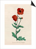 Corn Poppy or Corn Rose Poppy or Field Poppy Print