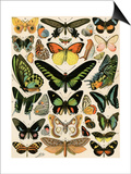 Butterflies and Moths not native to Europe Prints