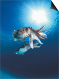 Broadclub Cuttlefish Mating, Sulu-Sulawesi Seas, Indo-Pacific Prints by Jurgen Freund