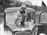 A British Bulldog Stands Proudly Behind a Union Jack Flag on a Car Bonnet Prints
