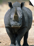 White Rhinoceros, Etosha National Park Namibia Southern Africa Posters by Tony Heald