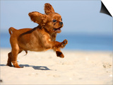 Cavalier King Charles Spaniel, Puppy, 14 Weeks, Ruby, Running on Beach, Jumping, Ears Flapping Print by Petra Wegner
