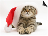 Tabby Cat Wearing a Father Christmas Hat Prints by Jane Burton