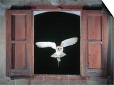 Barn Owl Flying into Building Through Window Carrying Mouse Prey, Girona, Spain Posters by Inaki Relanzon