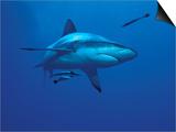 Grey Reef Shark, with Remora Fish, Great Barrier Reef, Queensland, Australia Posters by Jurgen Freund