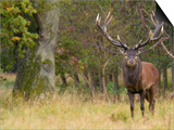 Red Deer Stag with Vegetation on Antlers During Rut, Dyrehaven, Denmark Art by Edwin Giesbers