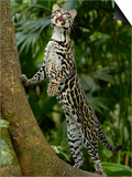 Ocelot (Felis / Leopardus Pardalis) Amazon Rainforest, Ecuador Prints by Pete Oxford