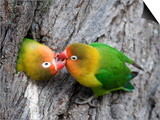 Close-Up of a Pair of Lovebirds, Ndutu, Ngorongoro, Tanzania Prints