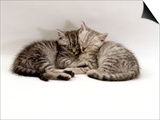 Domestic Cat, Two 7-Week Sleeping Silver Tabby Kittens Poster by Jane Burton