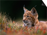 Young European Lynx Waking up Among Bilberry Plants, Sumava National Park, Bohemia, Czech Republic Prints by Niall Benvie
