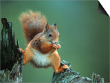 Red Squirrel Balancing on Pine Stump, Norway Prints by Niall Benvie