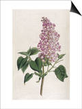 Common Lilac Prints by William Curtis