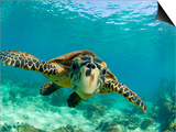 Sea Turtle, Swimming Underwater, Nosy Be, North Madagascar Art by Inaki Relanzon