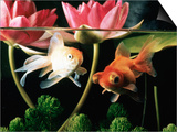 Two Goldfish (Carassius Auratus) with Waterlilies, UK Poster by Jane Burton