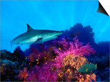 Caribbean Reef Shark and Soft Corals in the Ocean Prints