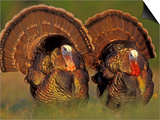 Wild Turkey Males Displaying, Texas, USA Posters by Rolf Nussbaumer