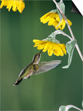 Ruby Throated Hummingbird, Female Feeds at Sunflower, Texas, USA Posters by Rolf Nussbaumer