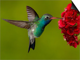 Broad-Billed Hummingbird, Male Feeding on Garden Flowers, USA Art by Dave Watts